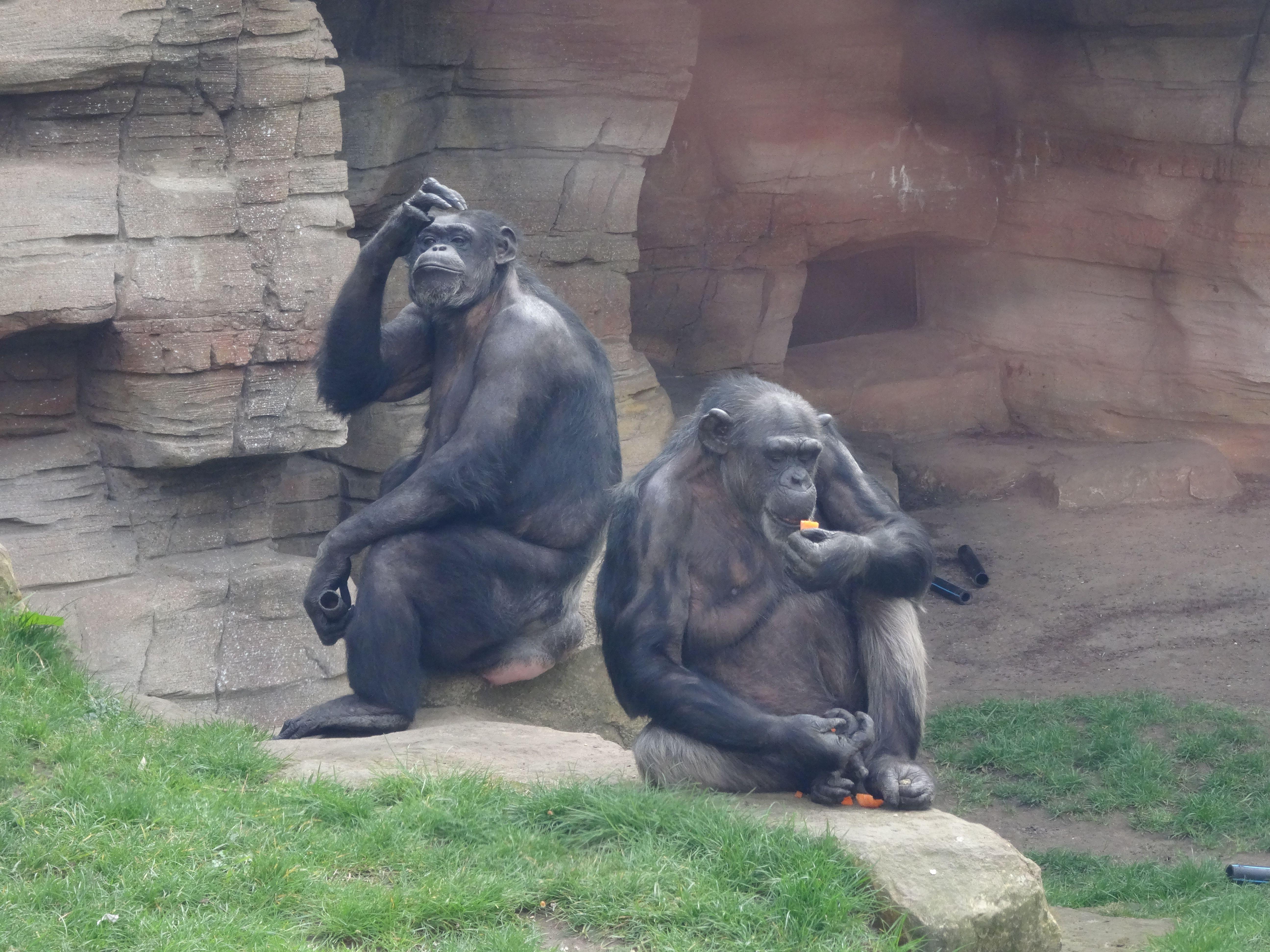 Schimpanse  (4)