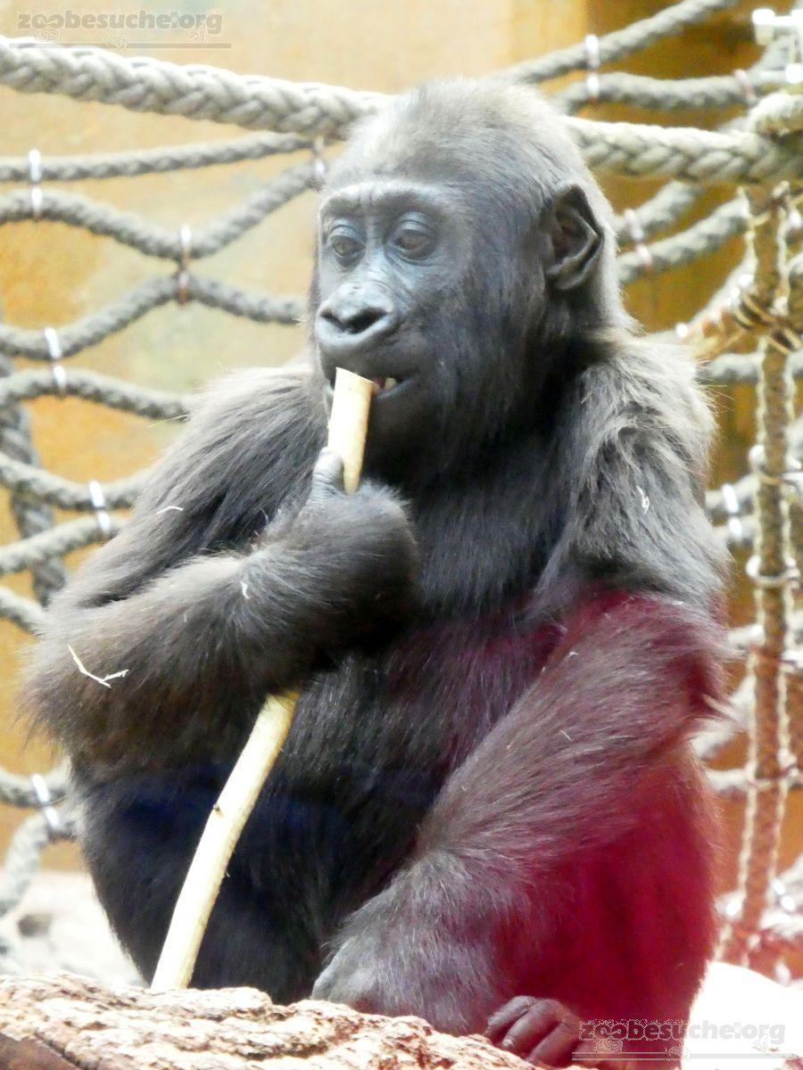 Gorilla  (9)