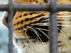 Leopard Julius  (3)