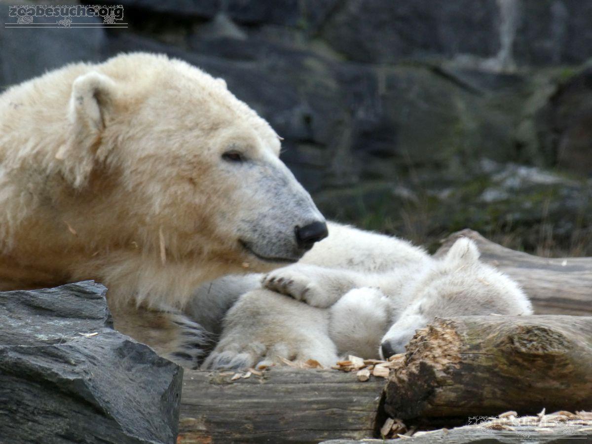 Eisbär  (86)
