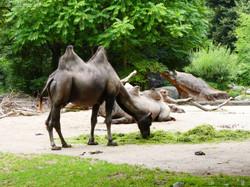 Kamele  (1)