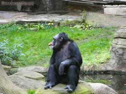 Schimpansen  (18)
