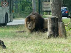 Löwen (6)