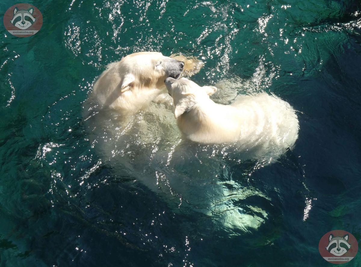 Eisbären_Milana_und_Nana_(1)