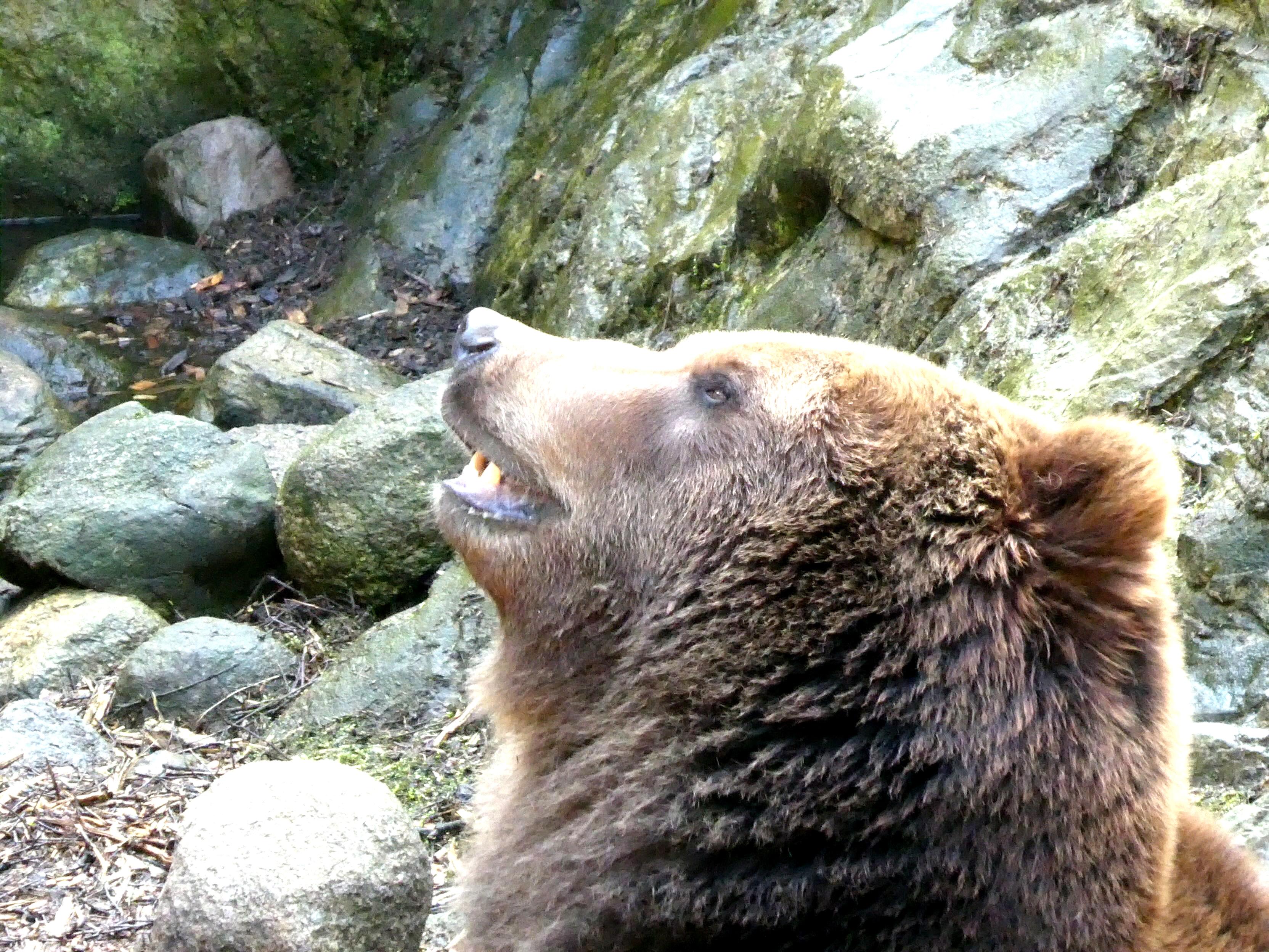 Braunbär  (2)