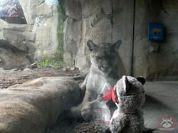Puma mit Wuschel (3)