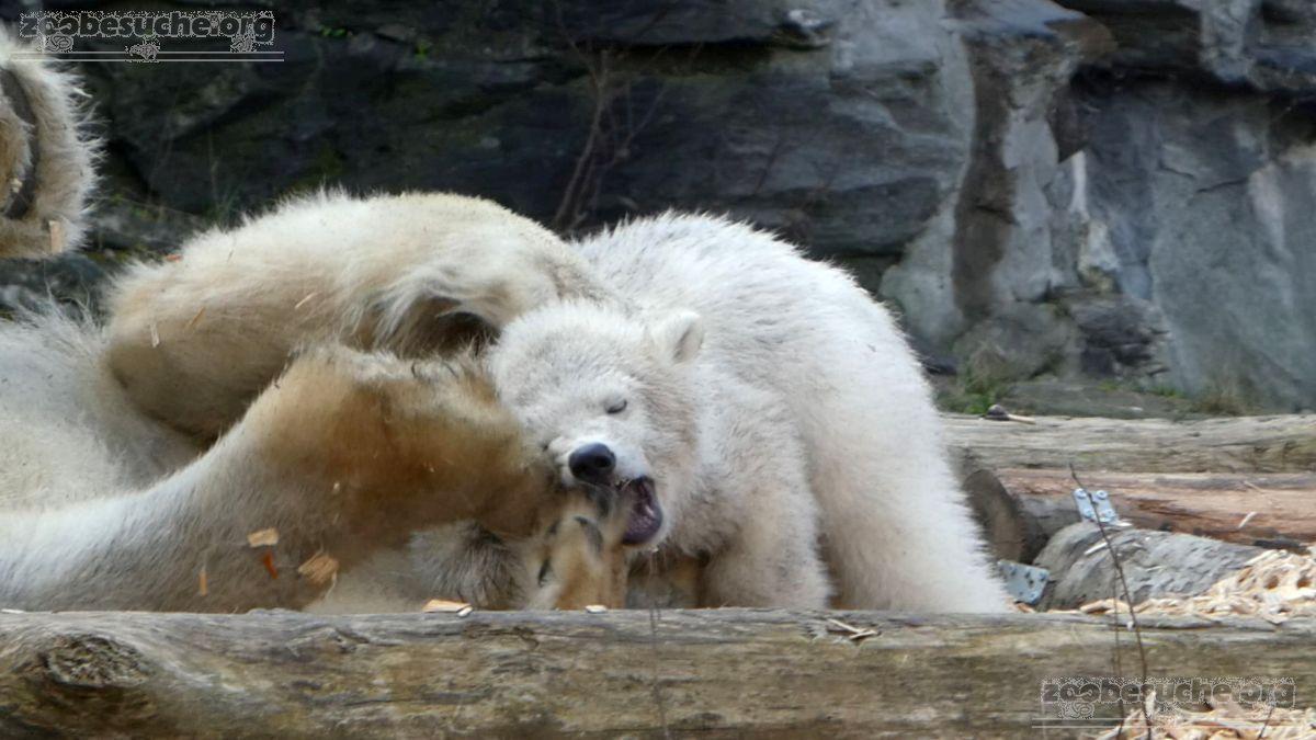 Eisbär  (59)