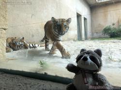 Tiger mit Wuschel (3)