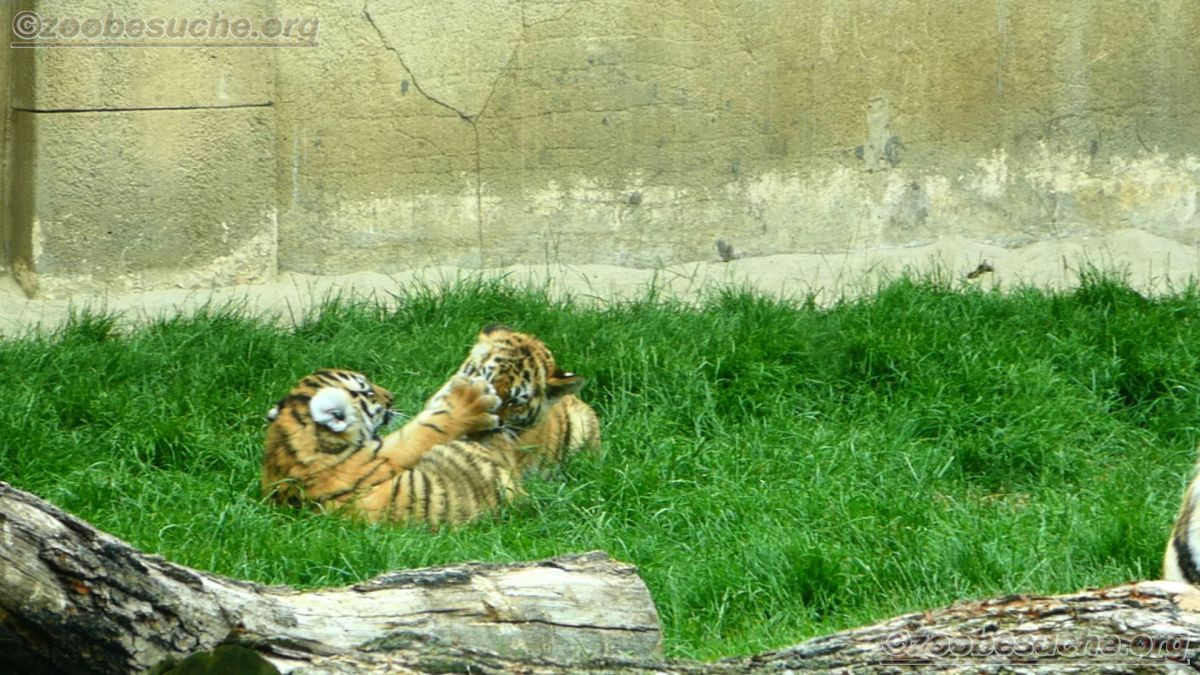 Tiger Jungtiere  (6)