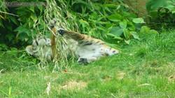 Tiger Jungtiere  (14)