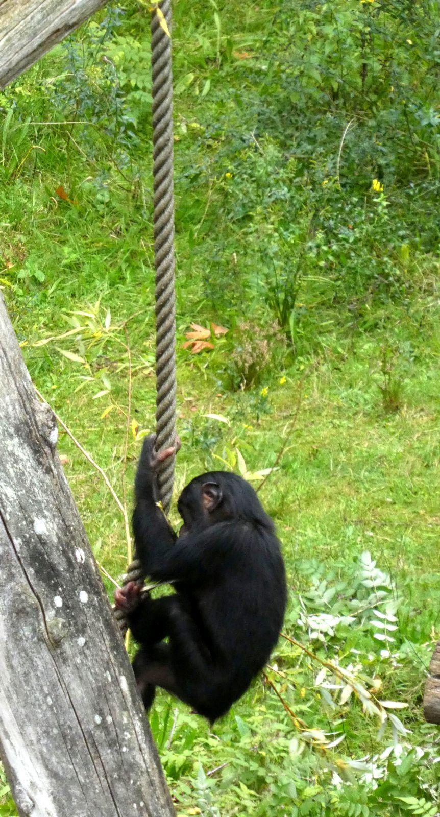 Bonobo  (2)