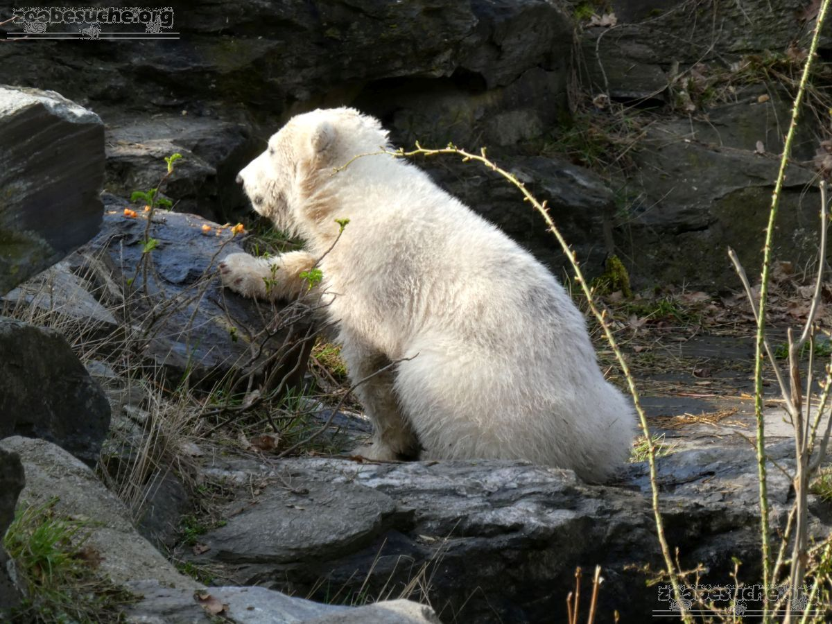 Eisbär  (99)