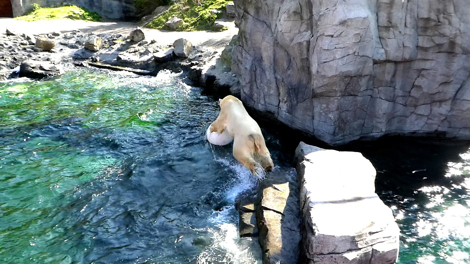 Eisbär  (35)