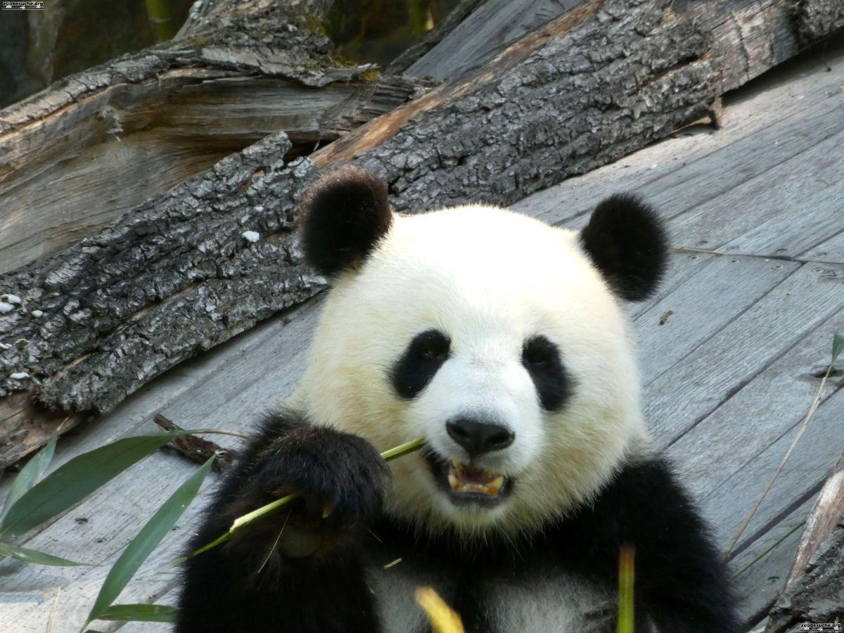 Panda  (159)