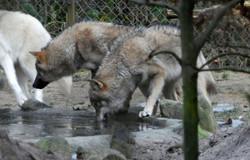 Wolf  (19)