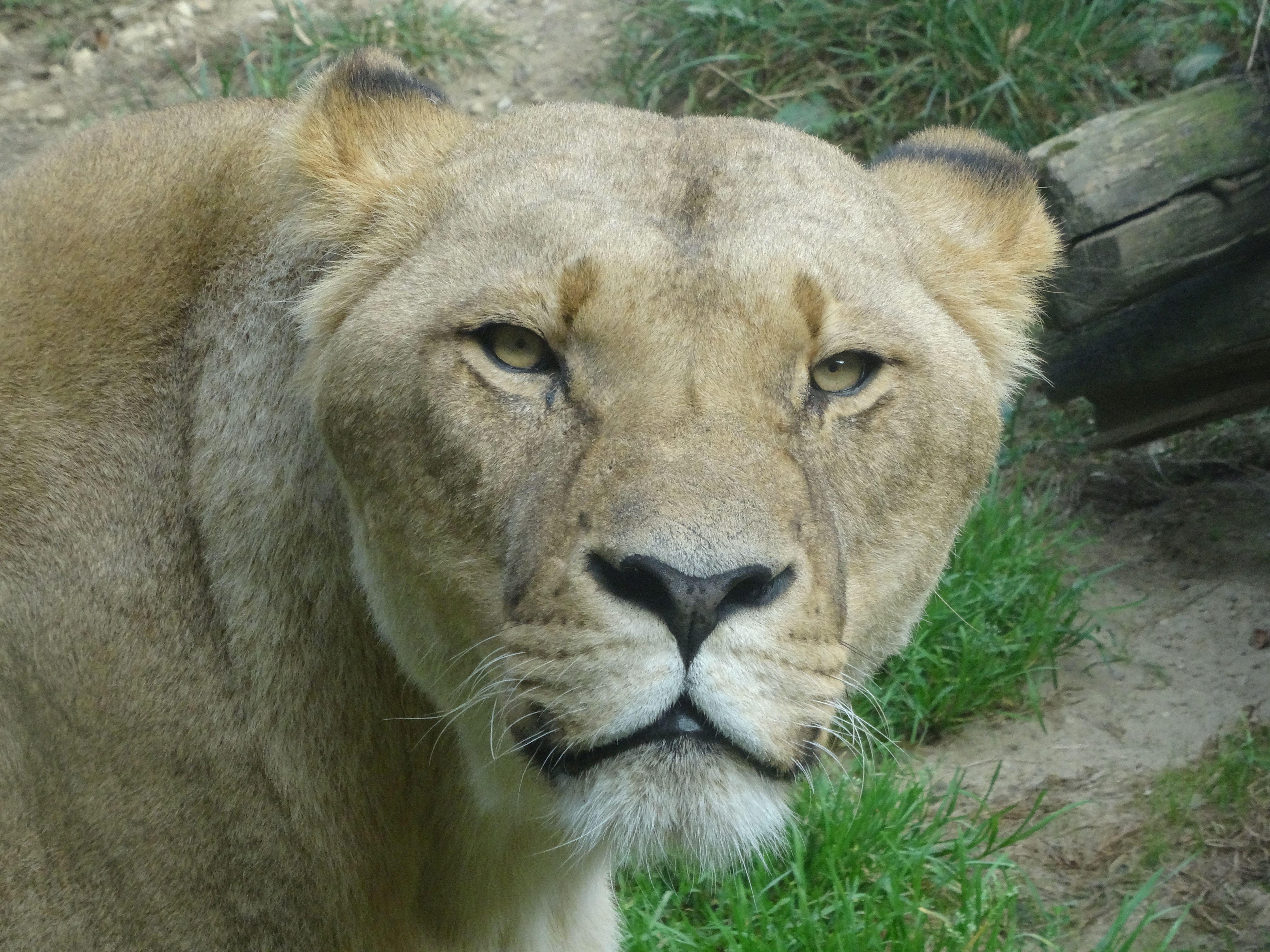 Löwe  (4)