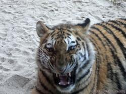 Tiger Jungtier  (11)