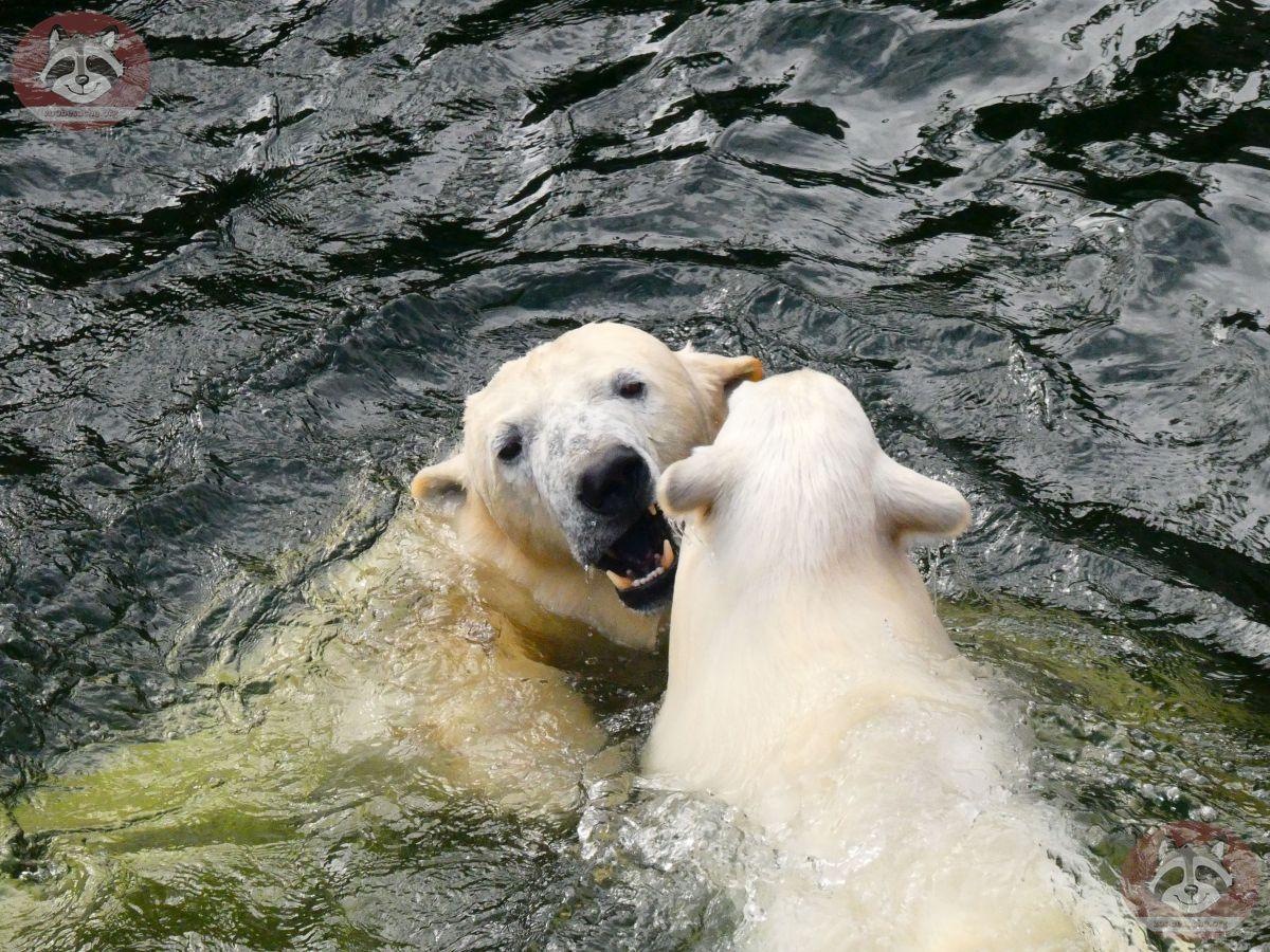 Eisbären_Nana_und_Milana_(18)