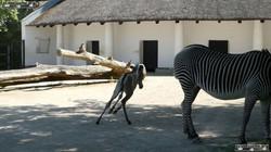 Zebra  (4)