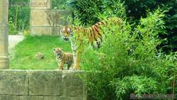 Tiger Jungtiere  (21)