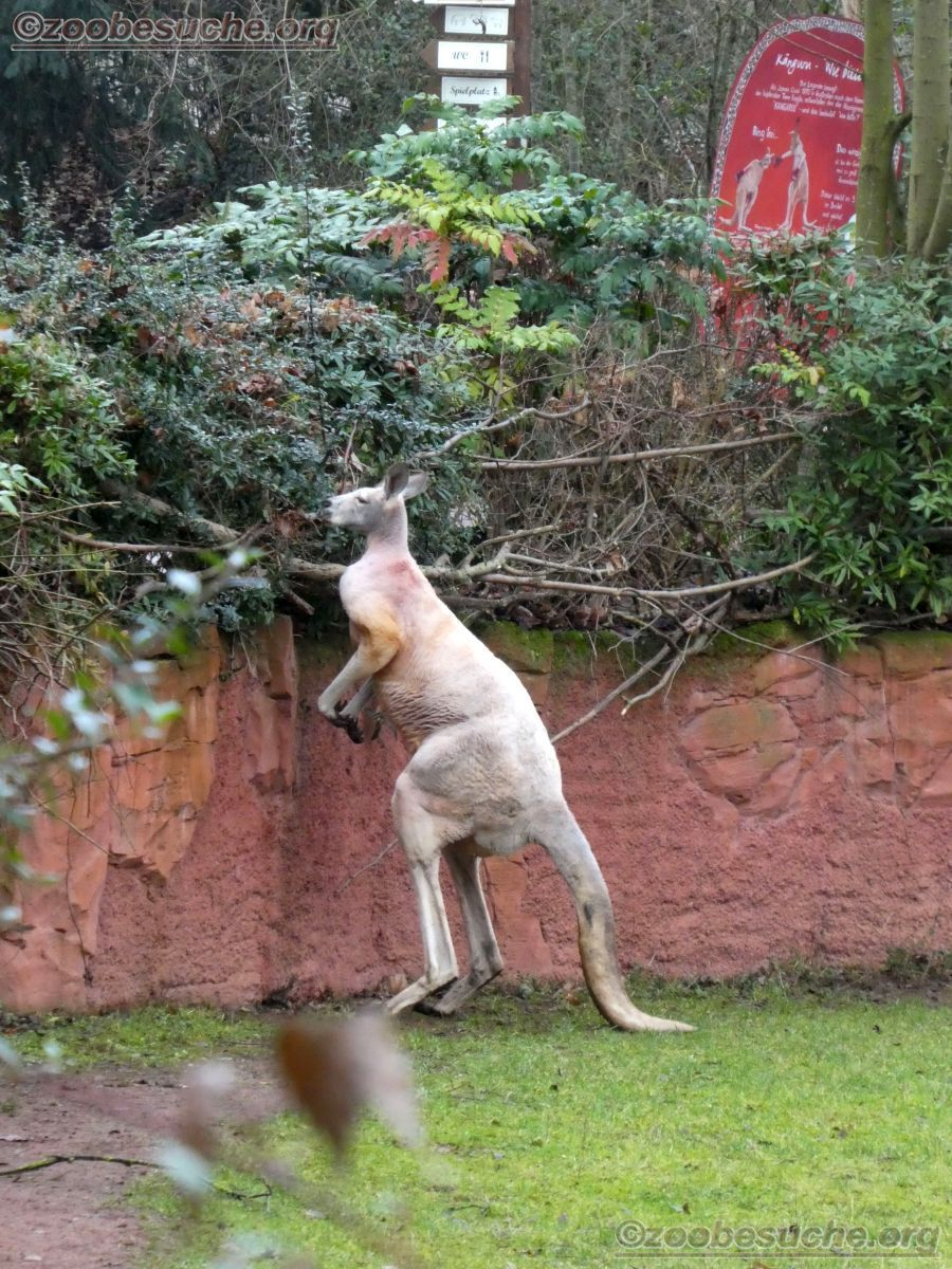 Kanguru  (1)