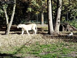 Löwen  (11)