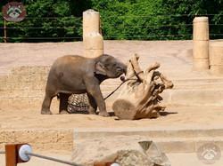 Elefanten Jungtier (1)