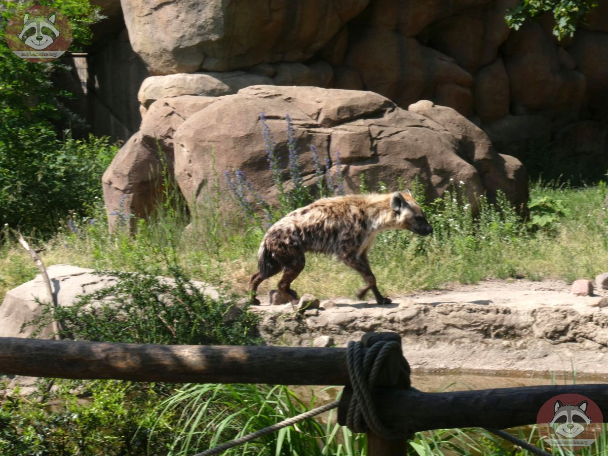 Hyäne  (1)