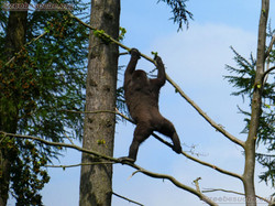 Gorilla  (6)