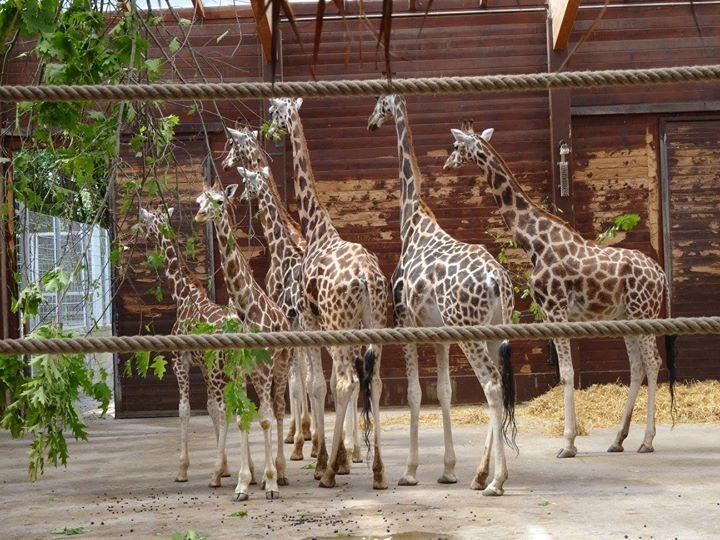 Giraffen im Giraffenhaus
