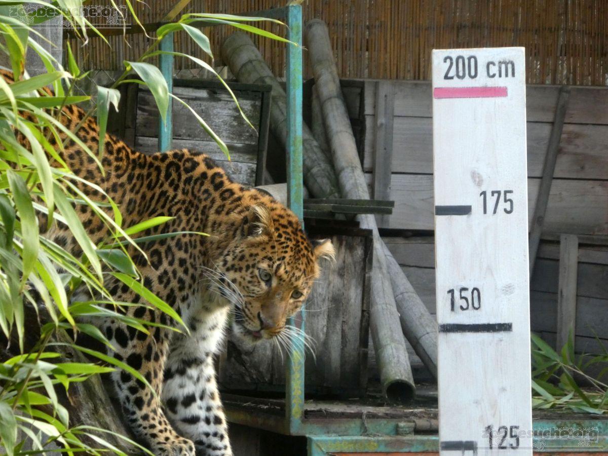 Leopard Julius  (32)