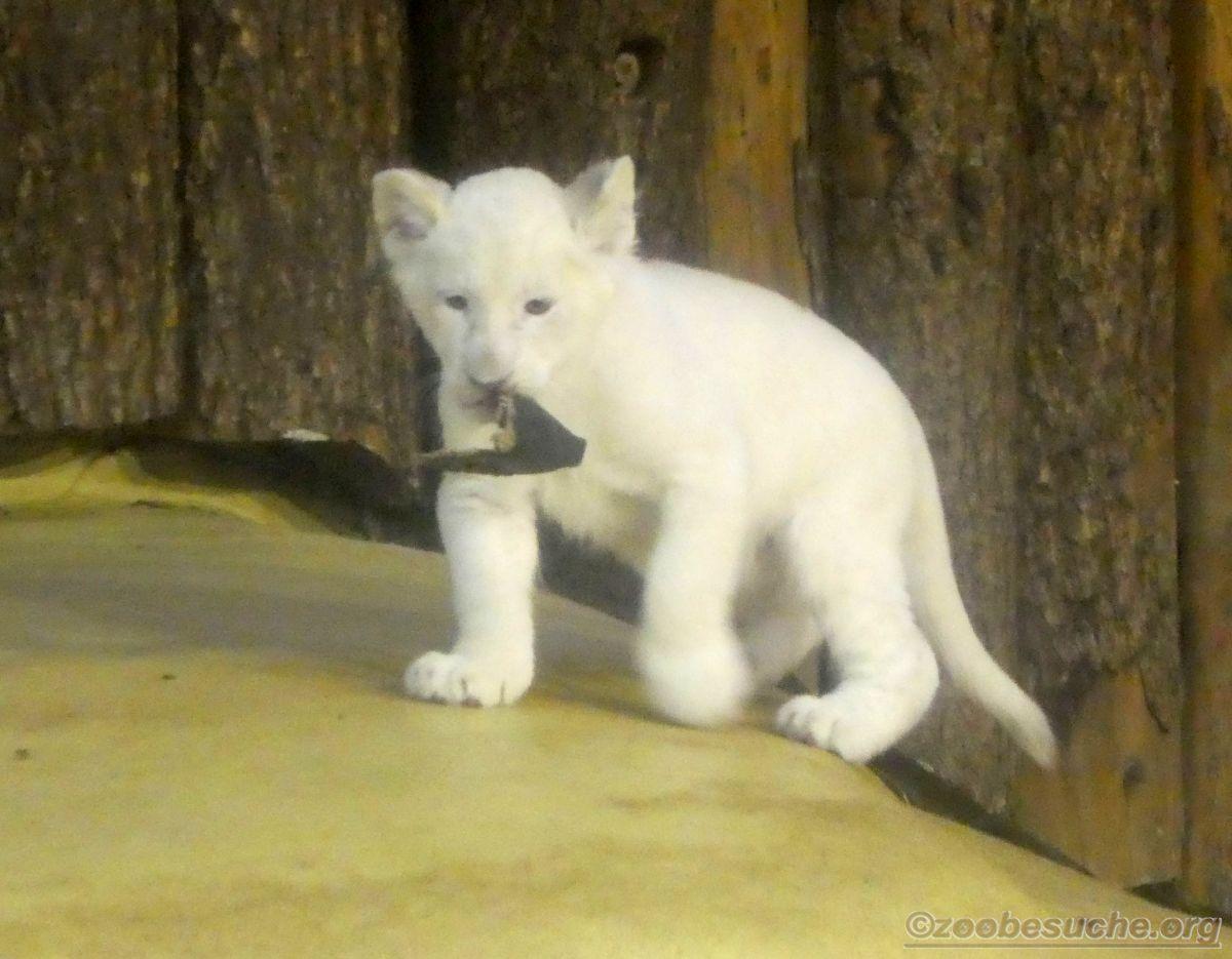 Weiße Löwen Jungtiere (25)