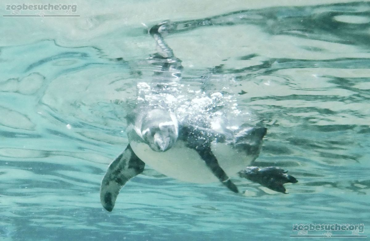 Pinguin  (5)