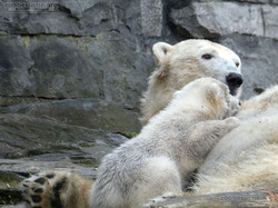 Eisbär  (45)