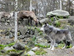 Timberwolf  (14)