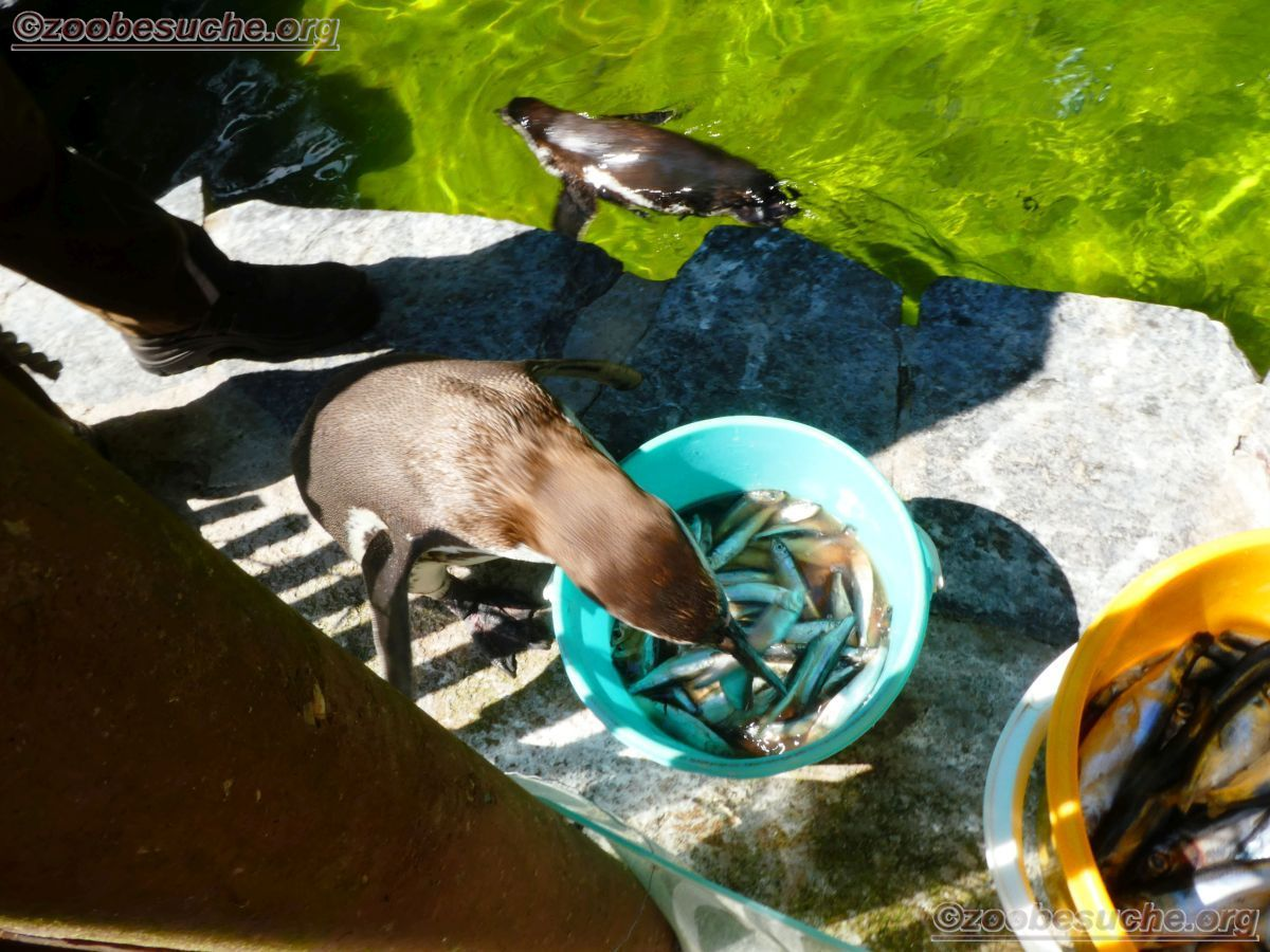 Humbolt Pinguine  (10)