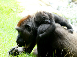 Gorilla  (4)