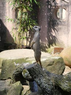Erdmännchen  (1)