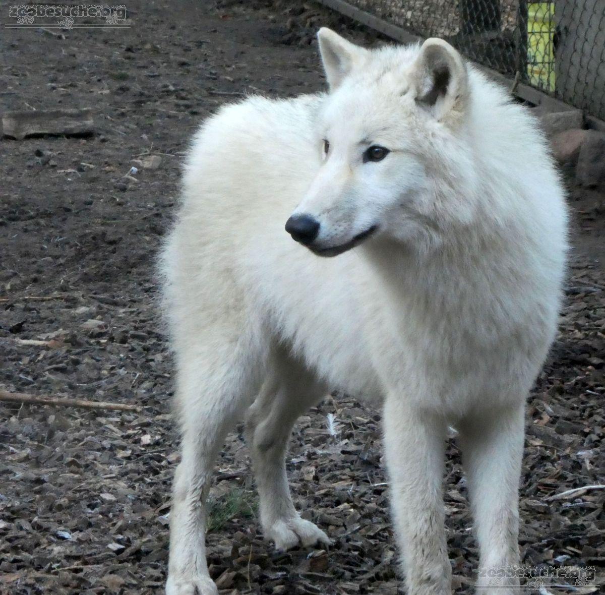 Hudson Bay Wolf  (6)