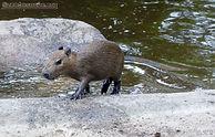 Wasserschwein (2).jpg