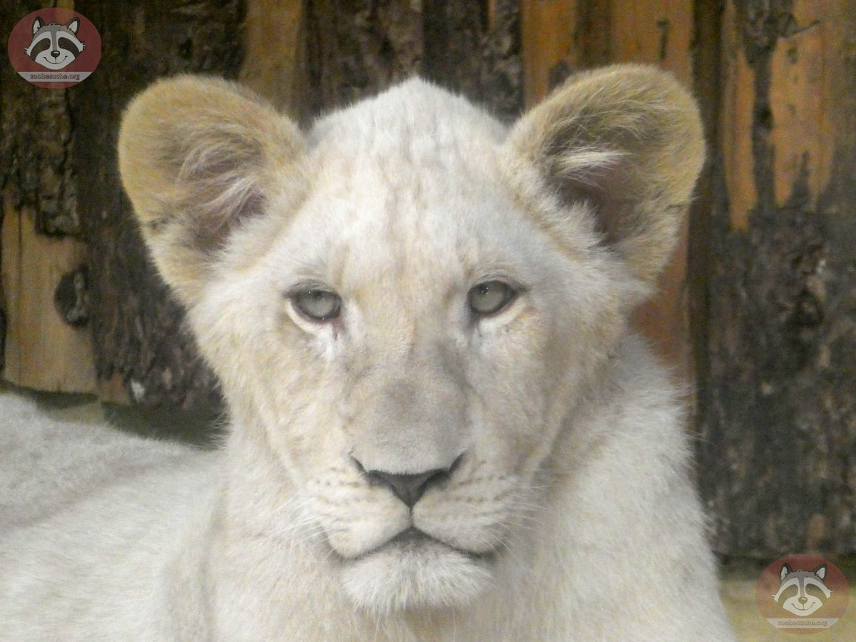 Afrikanischer Löwe (1)