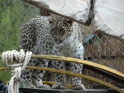Leopard  (5)