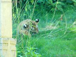 Tiger  (38)