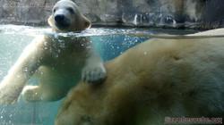 Eisbär  (10)