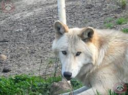 Timberwolf (12)