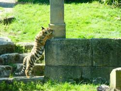 Tiger Jungtier (27)