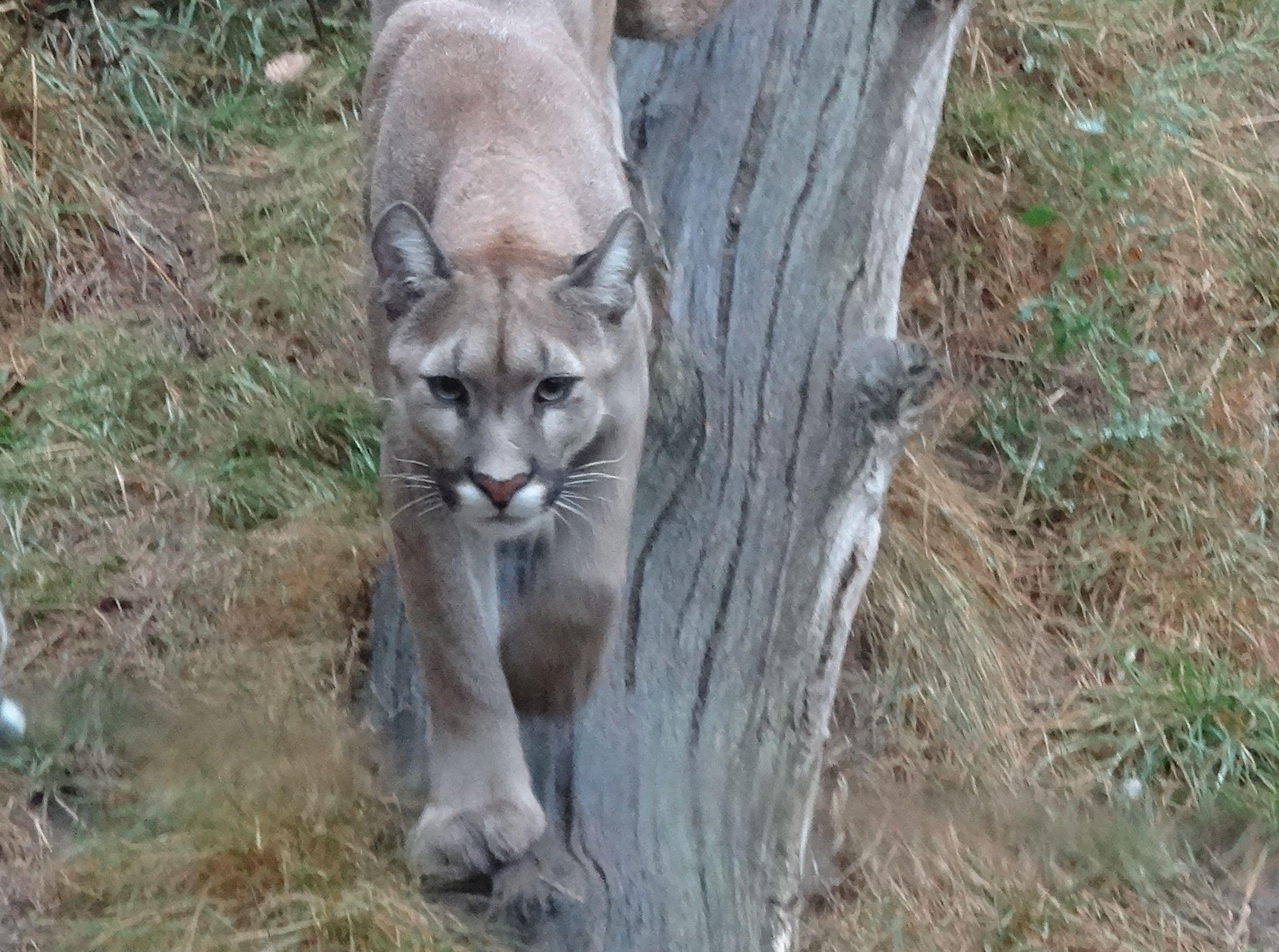 Puma  (2)
