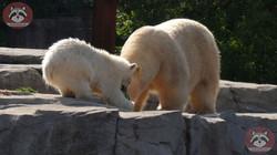 Eisbären_Milana_und_Nana_(3)