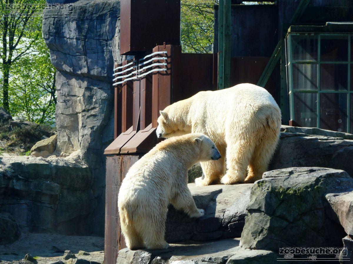 Eisbären_Milana_und_Sprinter__(39)