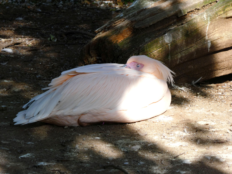 Pelikan  (1)